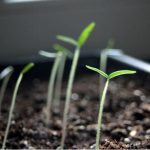 Datura stramonium seedlings