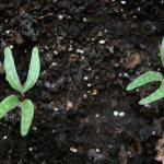 Ololiuqui seedlings