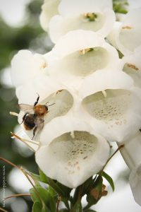 Bumblebee on White Foxglove