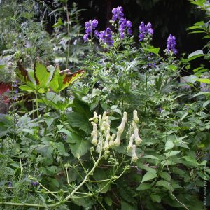 Yellow Wolfsbane and Blue Monkshood